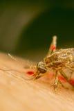 Makro des zertrümmerten Moskitos (Aedes aegypti) zu starb Stockfotografie