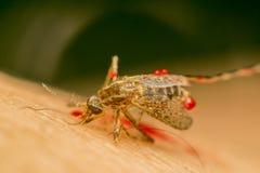 Makro des zertrümmerten Moskitos (Aedes aegypti) zu starb Stockbild