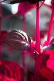 Makro- Detail eines purpurroten tropische Anlagen-` Iresine herbstii aureoreticulata ` Lizenzfreie Stockbilder
