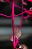 Makro- Detail eines purpurroten tropische Anlagen-` Iresine herbstii aureoreticulata ` Stockfotografie