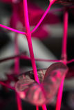 Makro- Detail eines purpurroten tropische Anlagen-` Iresine herbstii aureoreticulata ` Stockfoto