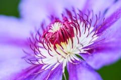Makro in die Mittelschönheit einer purpurroten Blume Abschluss oben Stockfoto
