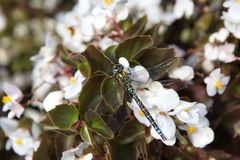 Makro- Dragonfly Zdjęcie Stock