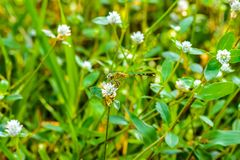Makro- dragonfly na trawa urlopie Dragonfly w naturze Fotografia Royalty Free