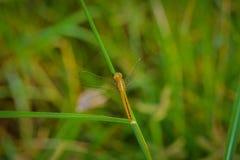 Makro- dragonfly na trawa urlopie Dragonfly w naturze Zdjęcie Royalty Free