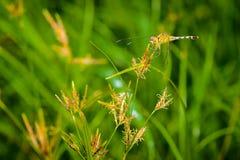 Makro- dragonfly na trawa urlopie Dragonfly w naturze Obrazy Royalty Free