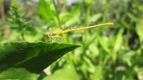 Makro- dragonfly obsiadanie na zielonym liściu Obrazy Stock