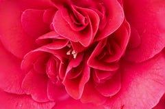 Makro- dwoisty czerwony camelia kwiat obrazy royalty free