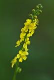 Makro- dziki kwiat: Agrimonia eupatoria Zdjęcie Royalty Free