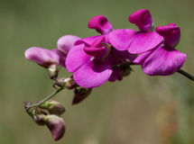 Makro- dziki kwiat: Lathyrus latifolius Zdjęcia Royalty Free