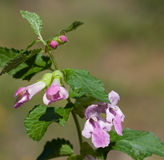 Makro- dziki kwiat: Melittis melissophyllum obraz royalty free