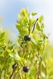 Makro- dzikie czarne jagody Obraz Royalty Free