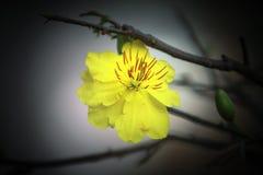 Makro eine Ochna integerrima integerrima Niederlassung, die Blumen des traditionellen vietnamesischen neuen Jahres lizenzfreies stockfoto