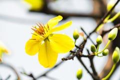 Makro eine Ochna integerrima integerrima Niederlassung, die Blumen des traditionellen vietnamesischen neuen Jahres stockbild