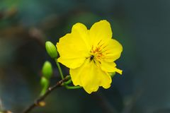 Makro eine Ochna integerrima integerrima Niederlassung, die Blumen des traditionellen vietnamesischen neuen Jahres stockfoto