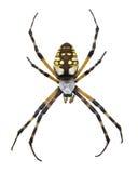 Makro einer Garten-Spinne Lizenzfreie Stockfotos