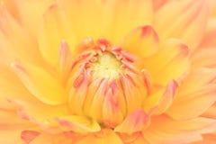 Makro einer gelben Dahlie Stockbild