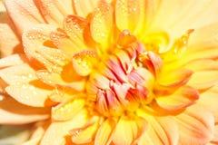 Makro einer gelben Dahlie Stockbilder