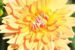 Makro einer gelben Dahlie Stockfotografie