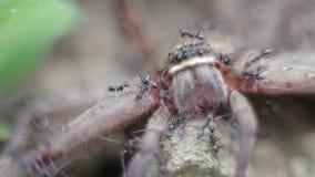 Makro einer Gruppe Ameisen, die eine riesige Krabbenspinne in Angriff nehmen und essen stock video