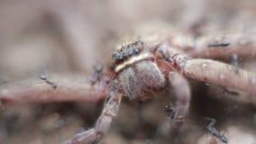 Makro einer Gruppe Ameisen, die eine riesige Krabbenspinne in Angriff nehmen und essen stock footage