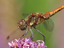 Makro einer lächelnden Heidelibelle, die auf einer Blume sitzt lizenzfreies stockfoto
