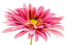 Makro einer lokalisierten rosa Asterblumenblüte lizenzfreie stockfotografie