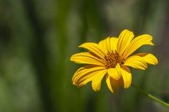 Makro einer orange Calendulablume auf einem weichen grünen Hintergrund stockfoto