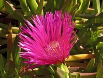 Makro einer rosa blühenden Mittagssaftigen Blume lizenzfreie stockbilder