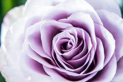 Makro einer Rose Stockfoto
