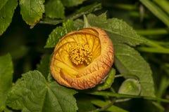 Makro einer schönen Blume Abutilon Pictum (Redvein-Abutilon) Lizenzfreie Stockbilder