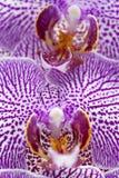 Makro einer schönen Orchidee Lizenzfreies Stockfoto
