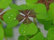 Makro einer Shamrockanlage mit vier Blättern stockfotografie
