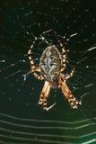 Makro einer Spinne: Aculepeira-ceropegia Lizenzfreies Stockbild