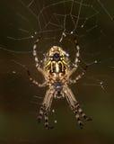 Makro einer Spinne: Aculepeira-ceropegia Stockfotografie