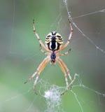 Makro einer Spinne: Mangora-Acalypha Stockfotos
