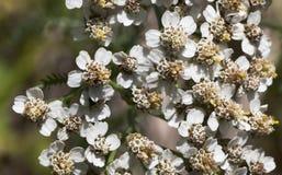 Makro einer wilde Blume achillea Odorata Lizenzfreie Stockfotografie