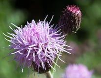 Makro einer wilden Blume Lizenzfreie Stockfotografie