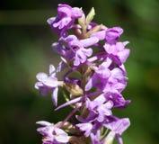Makro einer wilden Blume Lizenzfreies Stockbild