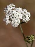 Makro einer wilden Blume: achillea Odorata Stockbilder