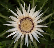 Makro einer wilden Blume: Carlina acaulis Stockbild