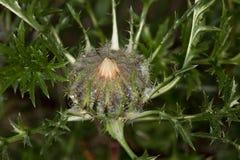 Makro einer wilden Blume: Carlina acaulis Stockbilder