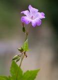 Makro einer wilden Blume: Pelargonie nodosum stockfotos