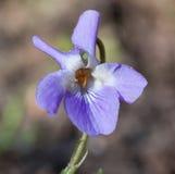 Makro einer wilden Blume: Viola alba Lizenzfreie Stockbilder