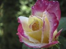 Makro einer zarten Rose Doppelt-Freude Rote Blumenblätter werden mit Regentropfen oder Morgentau bedeckt Tageslicht stockfotos