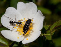 Makro eines Insekts: Acmaeodera-degener Stockfoto