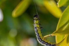 Makro eines kleinen asiatischen Kastenbaums catterpillar Stockfoto