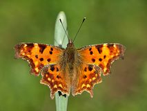 Makro eines lokalisierten C-Schmetterlinges lizenzfreies stockbild