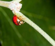 Makro eines Marienkäfers Stockbild