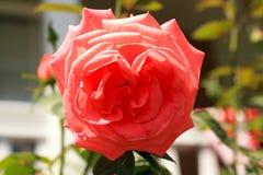 Makro eines rosa Rosengartens stockbilder